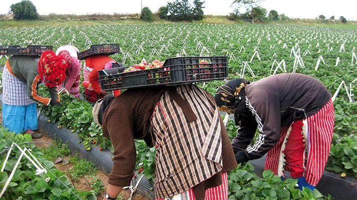 L'agriculture intensive et l'emploi, comme ici lors de la cueillette des fraises au nord  du pays, font partie des priorités du Plan Maroc Vert. Photo: DR