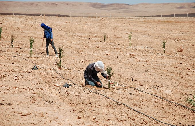 Plantation de palmiers dattiers dans la région d'Errachidia, au Maroc. Photo : Antoine Hervé