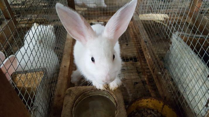 La réceptivité des lapines varie au cours d'un cycle, ici chez Mamadou Soro à Anyama (Côte d'Ivoire). Photos Techna