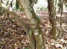 Le Swollen shoot se manifeste notamment par des tâches sur les troncs. Photo: CCC