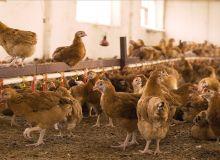 Concurrencer un poulet subventionné qui débarque à 1000 Francs CFA du Brésil se révèle difficile. Les producteurs locaux le produisent à environ 2500 F. © Denis/Adobe Stock