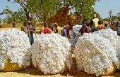 Récolte à Léo au sud-ouest du Burkina Faso. Photo : Tiego Tiemtoré