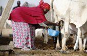Une éleveuse foulani recueille du lait dans un centre de collecte à Dangwala Karfi, au Nord du pays. Photo: DA