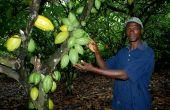 Nouhou N'Diaye dans sa plantation d'Azaguié à 40 km d'Abidjan. © Antoine Hervé.