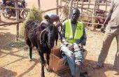 Ousman Chehou  et sa chèvre djalonke  à quatre cornes.  Photo: Silas Bayebane