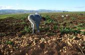 Il y aurait plus de 100 000 ha de pommes de terre aujourd'hui en Algérie, comme ici à Bouira. Photo : M. Naïli.