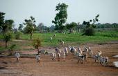 Ce projet aurait déjà permis la plantation de 11 millions d'arbres  au Sénégal, comme ici sur la route de Tambacounda. Photo: A. Hervé